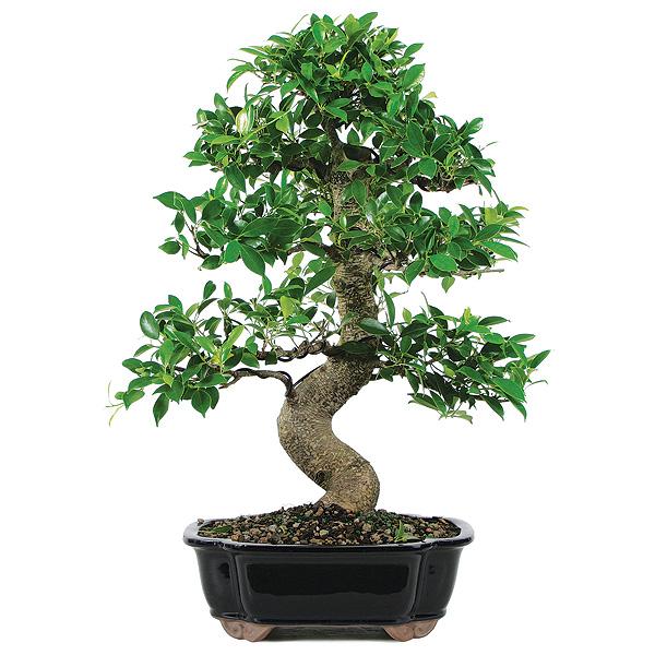 Bonsai planta de ghiveci