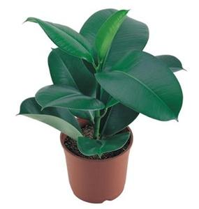 Ficus planta de ghiveci