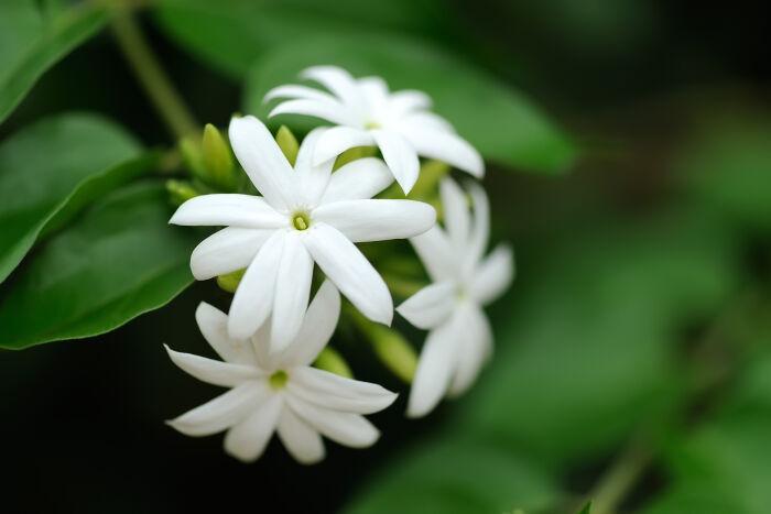 Beneficiile florilor de iasomie