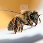 Cum te poate ajuta veninul de albine